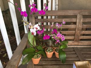 Orchids - small to medium sizes for Sale in Inglewood, CA