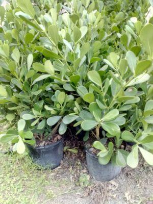 Preciosas plantas de Clusias! for Sale in Hollywood, FL