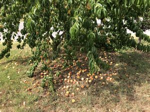 Fresh Natural Grown Peaches for Sale in Bray, OK