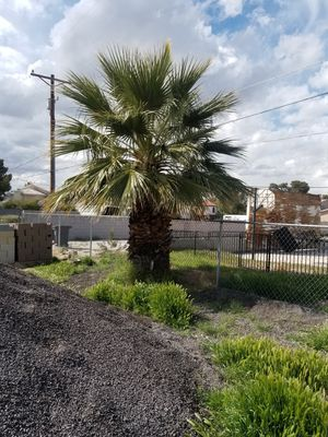 Palm Tree FREE for Sale in Las Vegas, NV