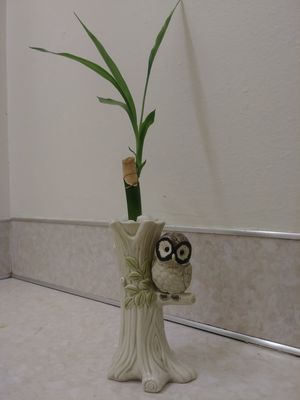 Plant Bamboo for Sale in Gresham, OR