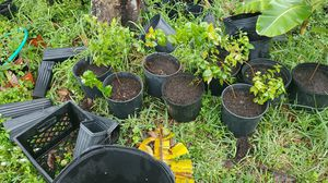 3 ft barbados cherry trees for Sale in NW PRT RCHY, FL