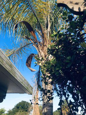 Free palm tree for Sale in Poinciana, FL