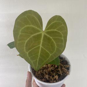 Anthurium Clarinervium for Sale in Westminster, CA