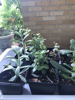 Ghost Plant / Elephant Bush / Mini Succulents for Sale in Dallas, TX