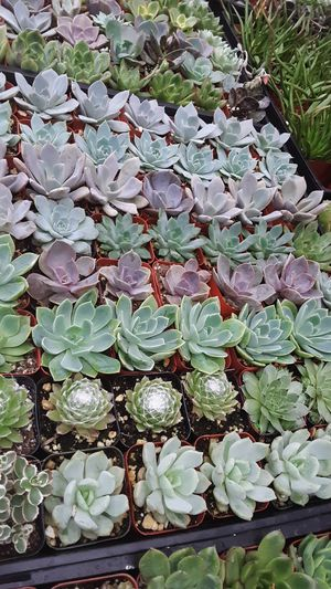 "2"" pots with succulent plants $1.20 each and $60 for tray of 64 plants for Sale in Whittier, CA"