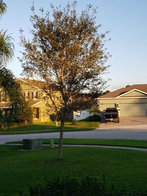 Free Live Oak Tree for Sale in Winter Haven, FL