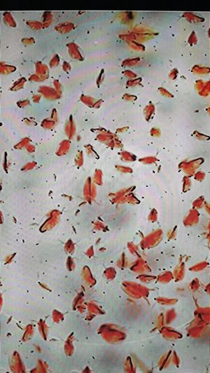 Live Daphnia and Moina starter culture for Sale in Portland, OR
