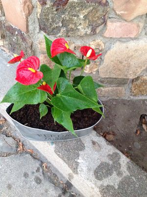 Anthurium plant for Sale in Downey, CA