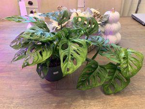 """6"""" Pot Monstera Adansonii Live Plants for Sale in Everett, WA"""