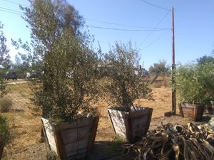 24in Olive Trees for Sale for Sale in Perris, CA
