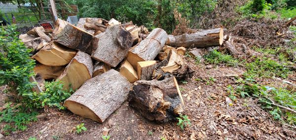 Free fire wood fresh cut tree