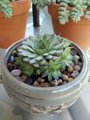 Succulents Dragon fire in pot for Sale in Portland, OR