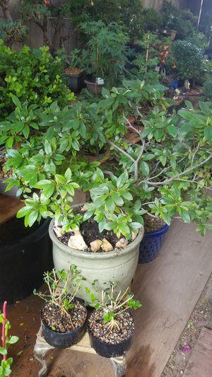Azalea Ridge color 3 inch diameter trunk for Sale in Fresno, CA