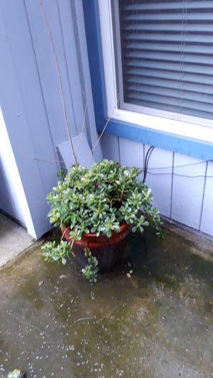 Nice jade plant for Sale in Manteca, CA