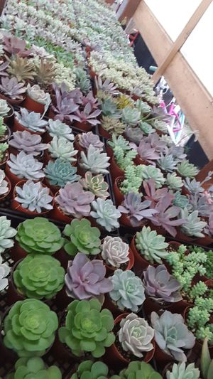 "4"" pots with succulent plants today only $2.25 each for Sale in Whittier, CA"