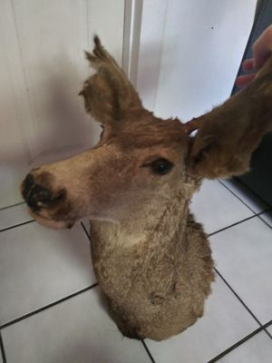 Real taxidermy deer head for Sale in Brockton, MA