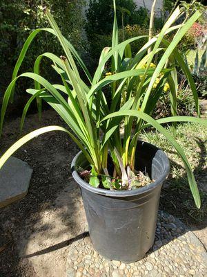 Orchid Plant (Simply Cymbidium) for Sale in Arcadia, CA