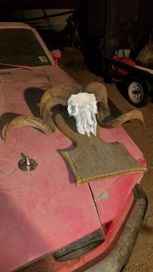 Ram Skull REAL for Sale in Tempe, AZ