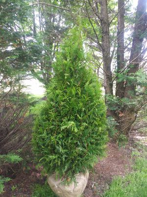 7 foot Green Giant arborvitaes delivery 85 each there are four of them for Sale in Linfield, PA