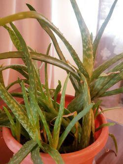 Aloe Plant for Sale in Fairfax,  VA