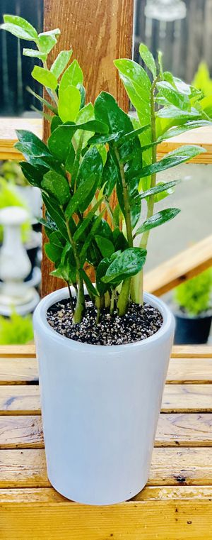 Live indoor ZZ house plant in ceramic planter flower pot—firm price for Sale in Seattle, WA