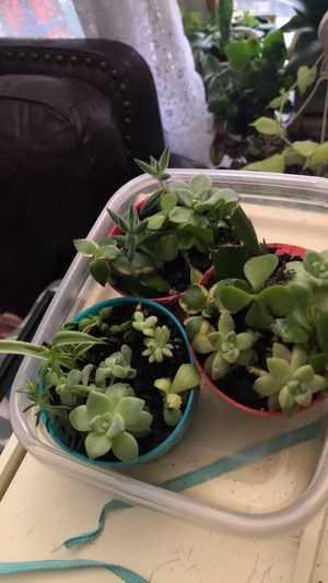 Succulent $5.00 each for Sale in Superior Charter Township, MI