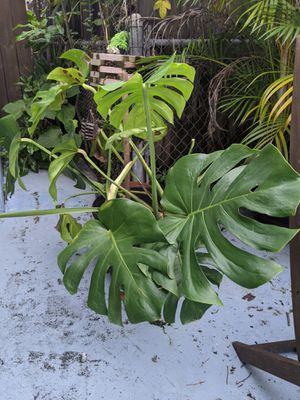 7 Potted plants plus a few extra pots and supplies for Sale in Hialeah, FL