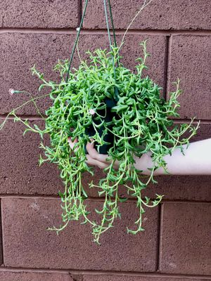 Large String of Dolphins Live Plant for Sale in Las Vegas, NV
