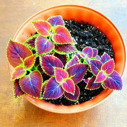 Wizard Scarlet Coleus Plants in 6 Inch Pot! for Sale in Portland,  OR