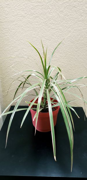 Live dracaena plant in a 7 inch diameter pot for Sale in Chandler, AZ