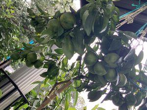 Large fruiting potted sweet Mandarine tangerine citrus tree loaded with ripening fruit for Sale in Atlanta, GA