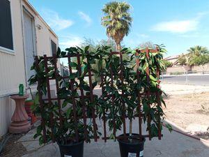2 fruit trees 120$ for Sale in Phoenix, AZ