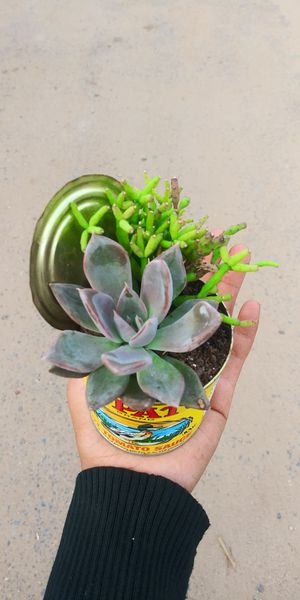 Succulent plant real plant for Sale in San Marcos, CA