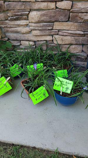 Spider wort plants purple flowers for Sale in Clovis, CA