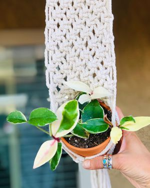 Crimson queen in pot and macrame plant holder for Sale in San Marcos, CA