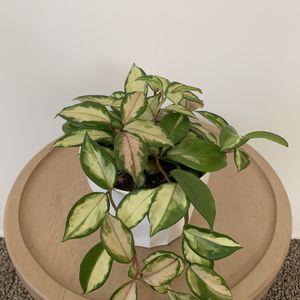 "Hoya Krimson Princess Plant  6"" for Sale in Ladera Heights, CA"