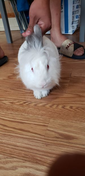 ×Free Rabbit for Sale in Worcester, MA
