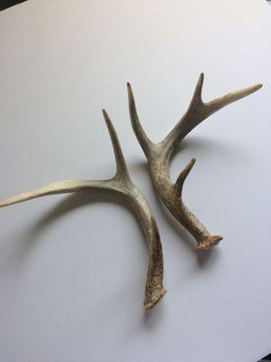 Deer antlers shed (pair) for Sale in San Diego, CA