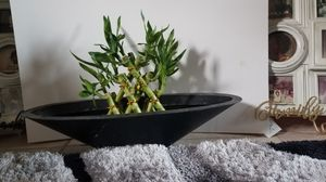 Lucky Bamboo display plant for Sale in Pomona, CA