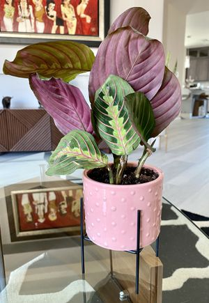 Live Prayer Plant in a Mid-century modern ceramic planter and metal stand for Sale in Las Vegas, NV