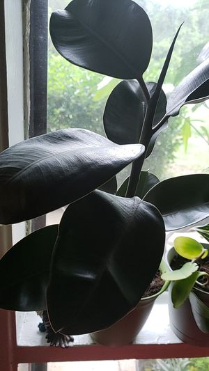 Rubber plant Elastica plant for Sale in Adelphi, MD