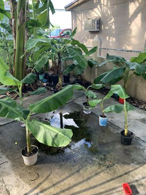 Burro, goldfinger, manzano and Hawaiian banana plants and other varieties for Sale in Hialeah, FL