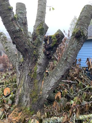 Free cherry tree wood for Sale in Portland, OR