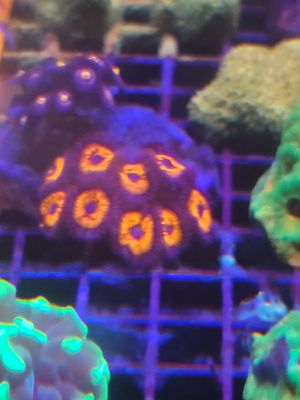 Zoanthid coral for sale for Sale in Rancho Cucamonga, CA