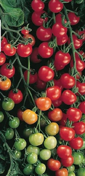 Large cherry tomatoes plant in a week you will eat organic tomatoes 10-inch Grower P- for Sale in Aurora, CO