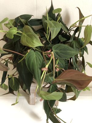 Philodendron Micans In 6 inch pot Super healthy Vining house plant with Velvet leaves for Sale in Santa Rosa, CA