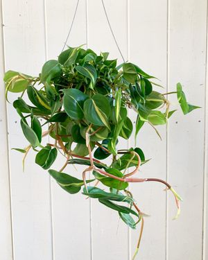 Philodendron brasil plant for Sale in Glendale, CA