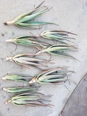 Alone vera plants for Sale in Rancho Cucamonga, CA