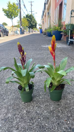 Bromeliads for Sale in Portland, OR